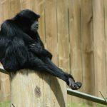 名古屋市東山動植物園で注目のフクロテナガザル『ケイジ君』の鳴き声がおっさん過ぎる