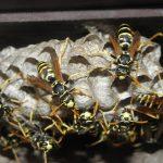 危険生物スズメバチの被害が都市近郊に拡大する 日本で一番人の命を奪っている野生動物の対応策